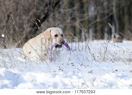The Yellow Labrador In Winter In Snow With A Toy