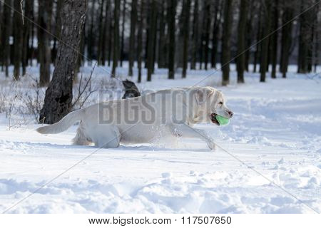 Yellow Labrador In Winter In Snow With A Green Toy