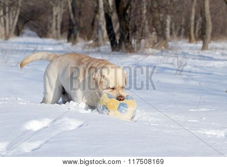A Yellow Labrador In Winter In Snow With A Ball