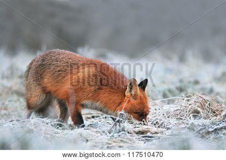 Red Fox Searching For Food On A Frost Covered Field