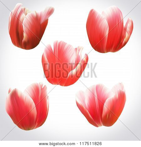 Collection Of Red Tulips