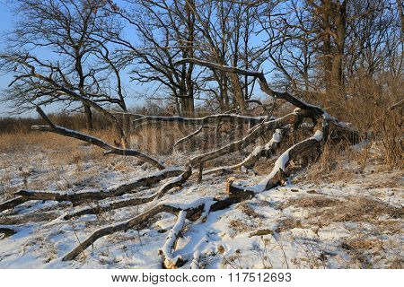 old dead bring down tree in winter forest at evening sunlight
