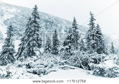 Winter scene in mountain forest