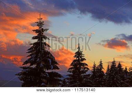 Pine tree on nice sunset sky background