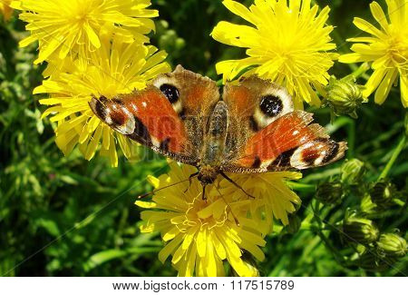 Peacock eye butterfly (Inachis io) on the dandelion