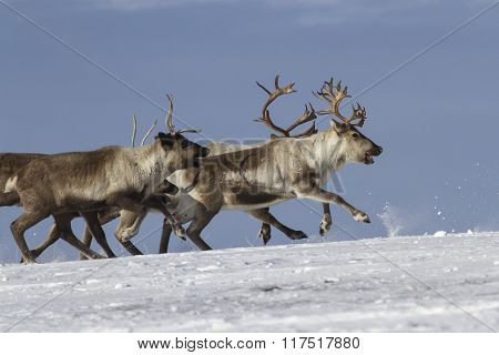 Herd Of Reindeer Running On Snow-covered Tundra