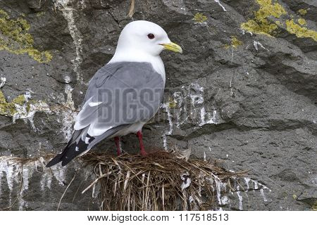 Red-legged Kittiwake Which Sits On The Nest Overcast Spring Day
