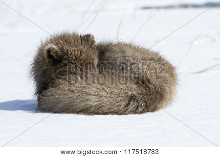 Commander's Blue Arctic Fox That Sleeps Curled Up In The Snow