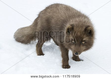 Commander's Blue Arctic Fox That Stands In The Snow And Looking At The Camera