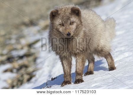 Commander Arctic Fox Standing On The Shore Of The Ocean Sunny Winter Day