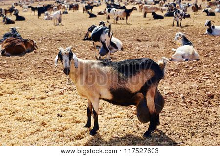 Majorera goat for cheese Fuerteventura at Canary Islands of Spain