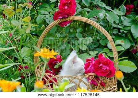 White Kitten In Basket And Roses