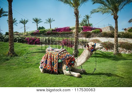 Camel Lying On The Grass Near To Palm Trees