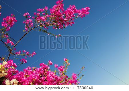 Pink Bougainvillea Flowering Branches On A Background Of Blue Sky