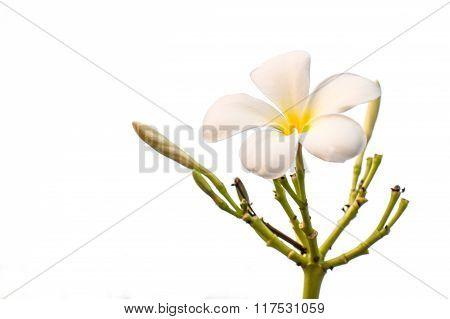 Tropical Flower White Frangipani (plumeria)