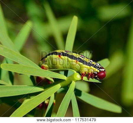 Worm on euphorbia, hyles euphorbiae