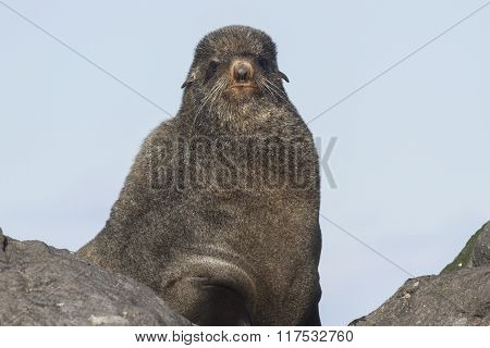 Portrait Of The Northern Fur Seal That Looks Right