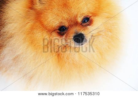 Adorable Ginger Pomeranian Spitz.