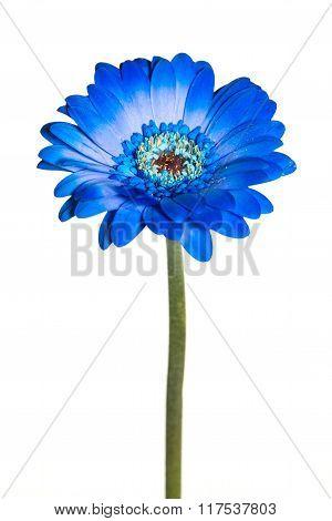 Blue gerber daisy isolated