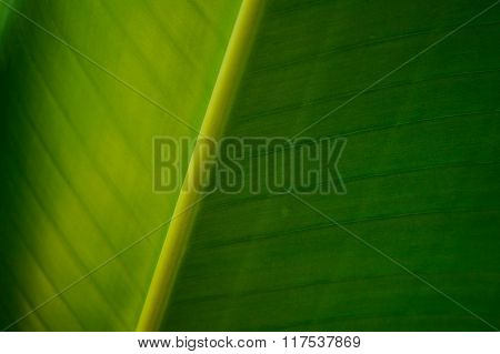 Banana Green Leave Texture Background