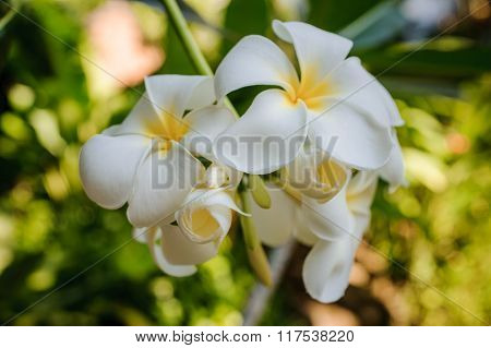 White And Yellow Plumeria Frangipani Flowers
