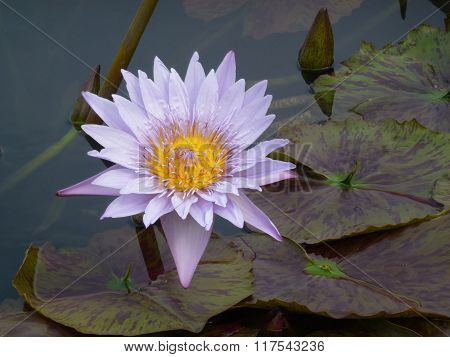 Water Lily #15
