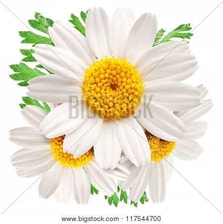 Beautiful camomiles isolated on white background. File contains clipping paths.