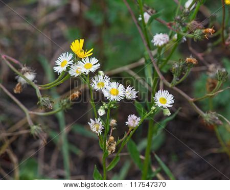 Chamomile Flowers Growing In The Meadow. Nature