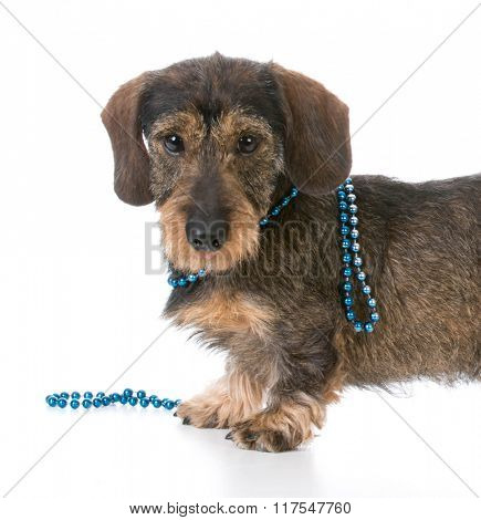 miniature wirehaired dachshund wearing a collar of beads