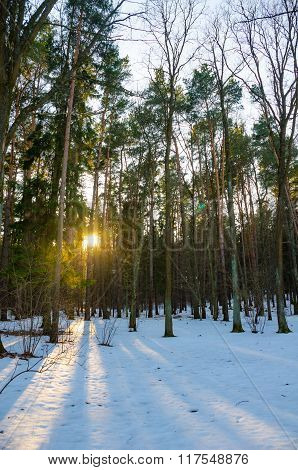 Sun Rays Of The Evening Sunset In The Winter Pine Forest