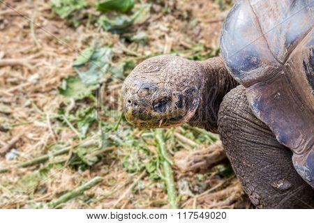 giant galapagos turtle eating leaves in floreana island ecuador closeup