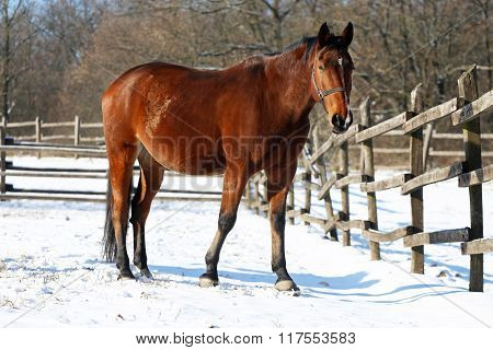 Saddle Horse Standing In Winter Corral
