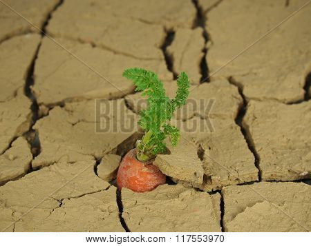 Growing Carrot