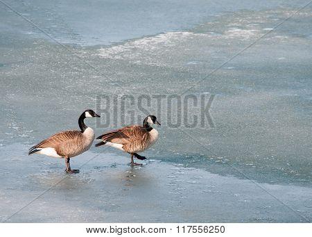 Walking Canada Goose