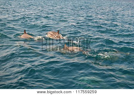 Shoal Of Wild Dolphins Swim In The Indian Ocean, Maldives