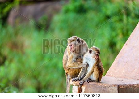 Sri Lanka Monkey Sitting On Ruins