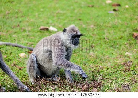 Monkey On The Green Grass.