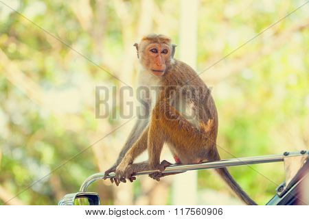 Sri Lanka Monkey Sitting On The Tree