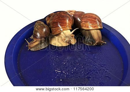 Large grape snail on blue tray.