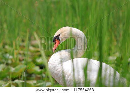 Beautiful Swan in the marsh