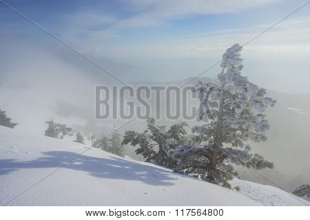 Pine Trees On A Mountain Slope