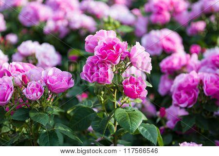 Macro Of Pink Roses