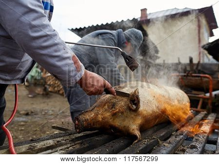 Men Preparing To Butcher The Pig At Home