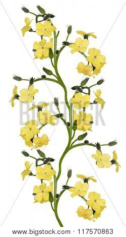 light yellow forget-me-not flowers isolated on white background