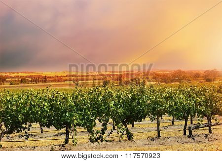 Barossa Valley Rows Of Grape Vines.