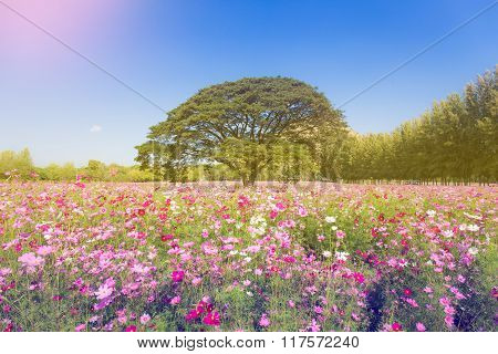 Pretty Cosmos Flowers And Big Tree In The Garden With Sky Background