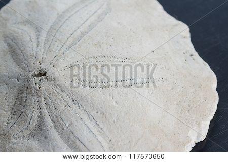 Old Starfish Or Sand Dollar
