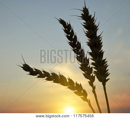 Silhouette of wheat ears in the sunset