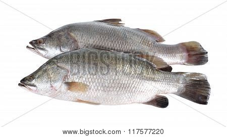 Seabass Or Barramundi Fish On White Background