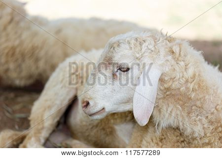 Sheep In Fram Meadow